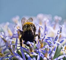 Bee on blue headed thistle by ruthjulia