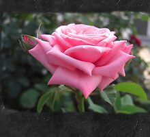 Pink Roses in Anzures 6 Blank P4F0 by Christopher Johnson