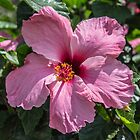 Pink Hibiscus Flower in Spain by printsbypixie