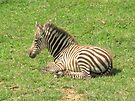 Wee Little Zebra ~ by Ginny York