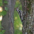 Woodpecker by Lisa G. Putman