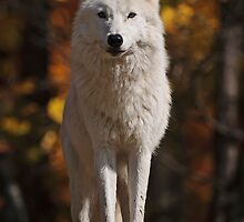 Arctic Wolf - The White Ghost Of The North by WolvesOnly