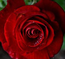 Red Rose - Paris by Jessica Reilly