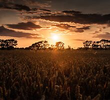 Sunset over Fields of Barley by Chester Tugwell