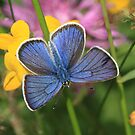 Mazarine Blue butterfly on wildflowers, Rila Mountains Bulgaria by Michael Field