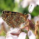 Knapweed Fritillary Butterfly, Rila Mountains, Bulgaria by Michael Field