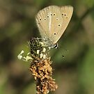 Ripart's Anomalous Blue Butterfly on Ribwort Plantain, Bulgaria by Michael Field