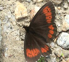 Large Ringlet on mountain track, Rila Mountains, Bulgaria by Michael Field