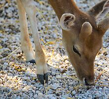 Baby Deer by Sotiris Filippou