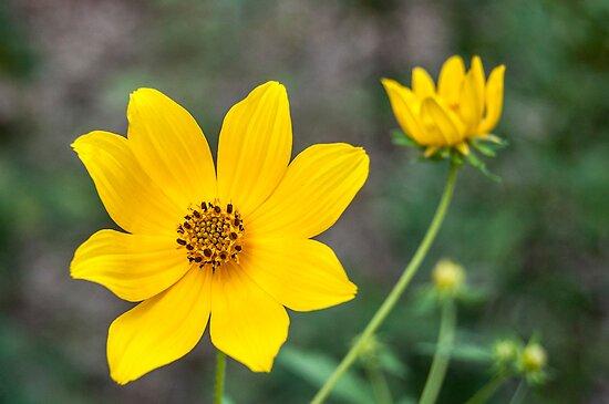 Autumn Tickseed Sunflower by barnsis