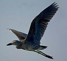 Juvenile Night Heron In Flight by imagetj