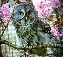 Great Grey Owl in the blossom by Dave  Knowles