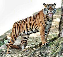 Tiger Snarling by picsbytabitha