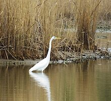 White Heron on The Hunt by SRowe Art