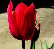 Crimson Tulip by MSRowe Art and Design