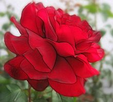 Red Rose Edges by Christopher Johnson