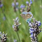 lavender blues by Steve Shand