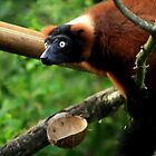 Red-ruffed lemur by Gary Power