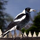 Australian Magpie. by johnrf
