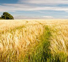 Barley Field in late summer by Nick Jenkins