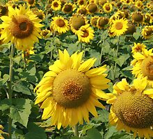 Sunflower Field on the Prairies by rhamm