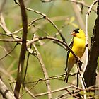 American Goldfinch Perched on a Tree by rhamm