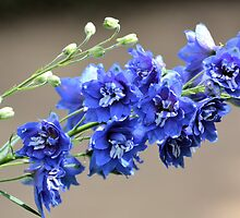 Delphinium by gurineb