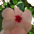 Rosy Periwinkle Close-Up, New York Botanical Garden, Bronx, New York by lenspiro