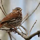 Song Sparrow on a Branch by rhamm