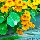 Tubbed Nasturtiums On Bench by Sandra Foster