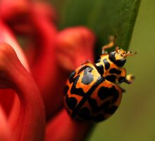 Ladybug by Claire Walsh