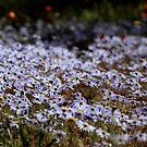 Namaqualand daisies by fourthangel