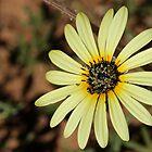 Namaqualand daisy by fourthangel