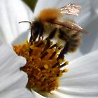 Bee Love The Cosmos Flower by lynn carter