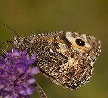 Grayling Butterfly by Jon Lees