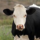 Front of a Cow by rhamm