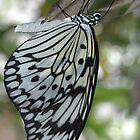 Beautiful Butterfly by Firefly4029