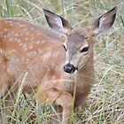Mule deer fawn by Kate Farkas