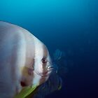Curious Batfish by James Deverich