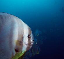 Curious Batfish by James Deverich