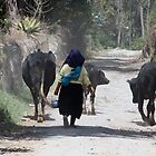 Herding Cows in Cotacachi by rhamm