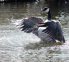 Canada Goose Splashing in Water by rhamm