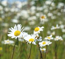 Oxeye Daisies in a field by Nick Jenkins
