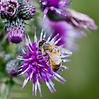 Bee on Thistle Flower by Nick Jenkins