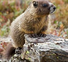 Young Marmot by Eivor Kuchta