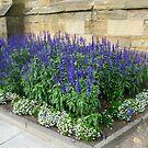 Blue Salvias by MidnightMelody