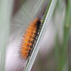 Wooly Bear Caterpillar by Sheryl Hopkins