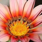 Gazania beauty by Rina Greeff