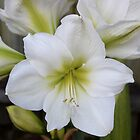 Wonderful White Hippeastrum  by Erica Long