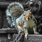 Cheeky Grey Squirrel by AyrshireImages